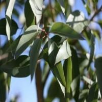 Eukaliptų citrinakvapių eterinis aliejus (Eucalyptus citriodora)
